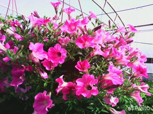 Рассада цветов садовых