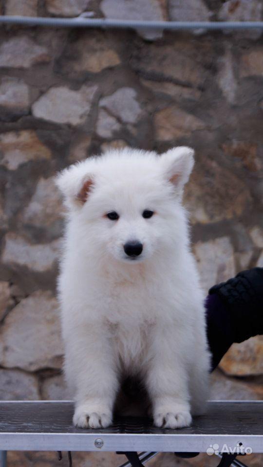 Супер щенки Швейцарской овчарки