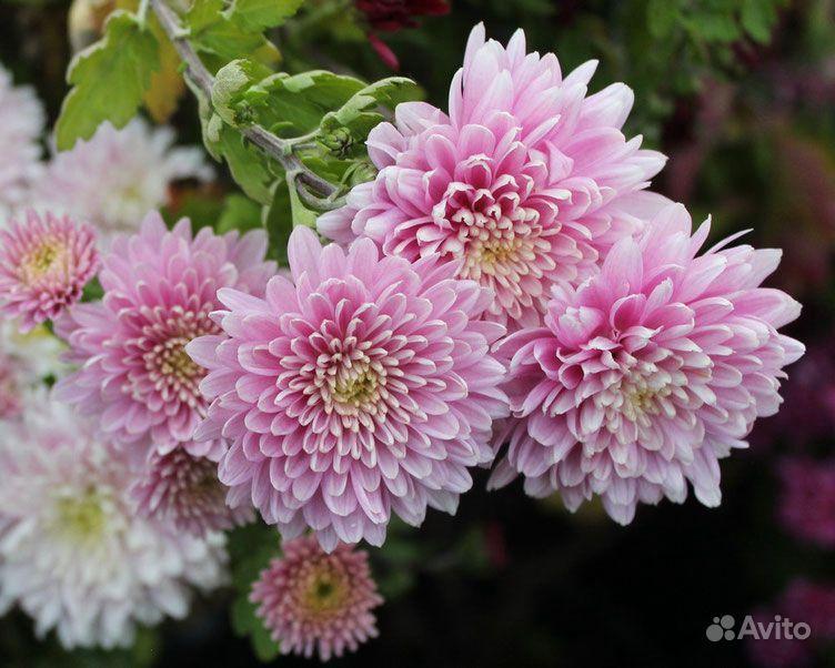 Хризантема корейская среднерослая крупноцветковая купить на Зозу.ру - фотография № 1