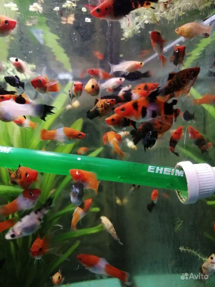 Меченосцы и молинезии аквариумные рыбки купить на Зозу.ру - фотография № 7