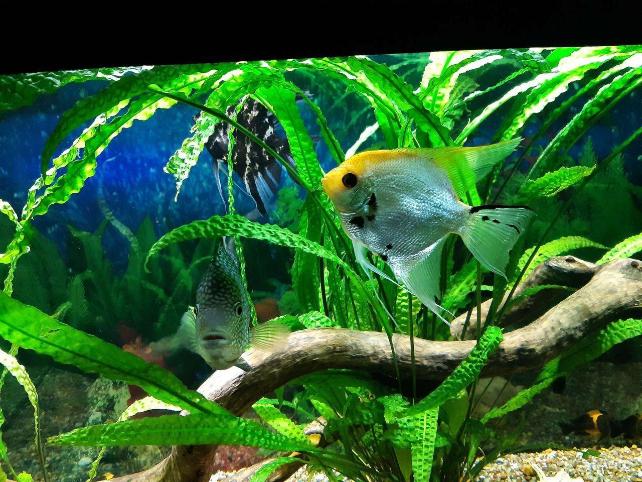 Аквариумная рыбка скалярия купить на Зозу.ру - фотография № 1