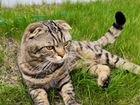 Котик шотландский вислоухий