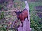 Продам двух коз чешской породы. Торг