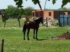 Лошадь карачаевской породы