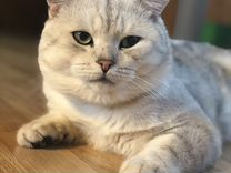 Вязка Scottish Shorthair (клубный)