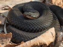 змеи амурской области фото и название сервис ресторана