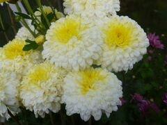 Корни хризантем