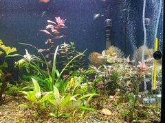 Растения для аквариума,меченосцы