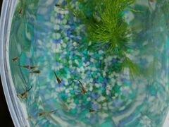Рыбки-гуппи и роголистник