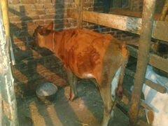 Корова и 3 тиленка