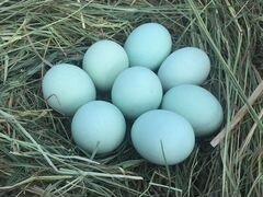 Инкубационные яйца ухейилюй