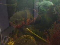 Рыба аквариумная
