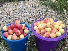 Яблочки -ранетки очень сочные