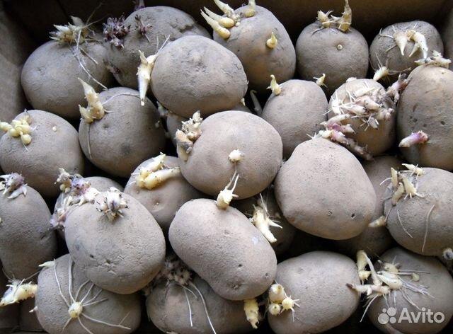 Купить картошку оптом в чувашии фото 99-365