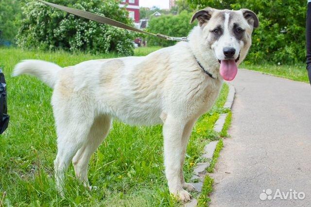 Ника - красивая молодая собака в добрые руки купить на Зозу.ру - фотография № 7