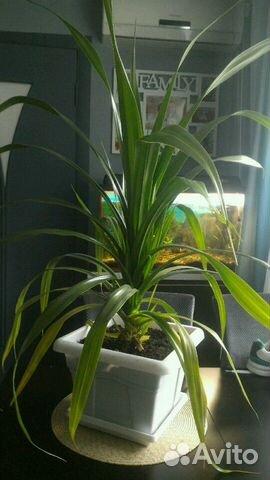 Панданус (винтовая пальма)  89324719004 купить 1