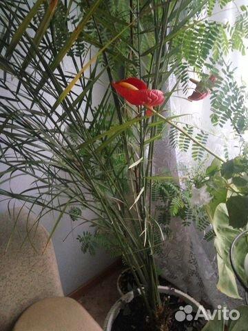 Пальма финиковпя
