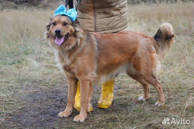 Семейная собака Джесс в дар купить на Зозу.ру - фотография № 1