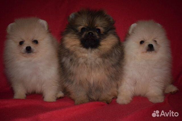 Очень красивые щенки померанского шпица купить на Зозу.ру - фотография № 2
