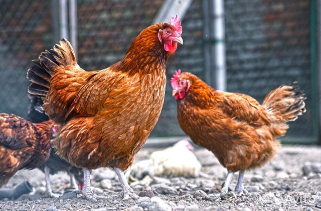 Chickens-pullets buy 2