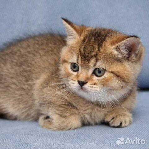 Британский котик драгоценного окраса