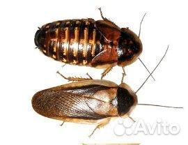 Blaptica dubia аргентинский таракан