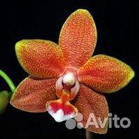 Орхидеи  89091710609 купить 6