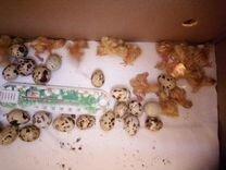 Яйцо инкубационное (перепелиное техасский бройлер)