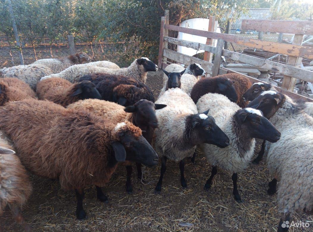 Овцы  89383060059 купить 2