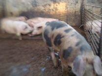 Свиноматки,Хряк