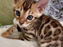 Самые лучшие и чистокровные, бенгальские котята