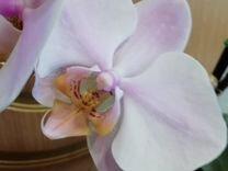 Фаленопсис Salinas (Салинас) домашнее цветение