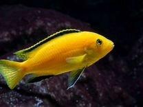 Рыбка Лабидохромис еллоу (желтый)
