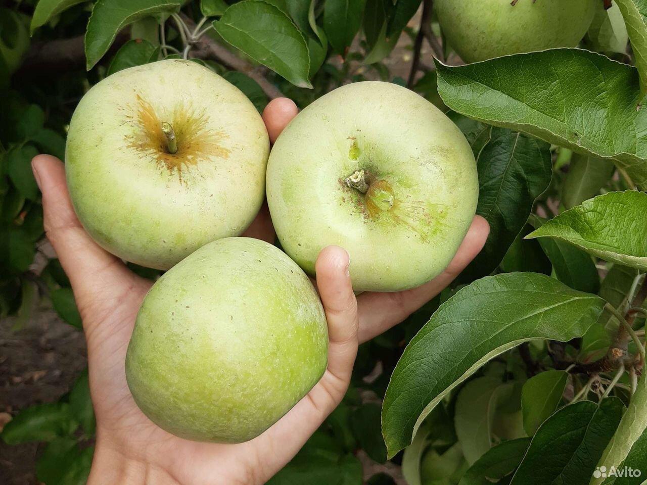 Яблоки  89640360900 купить 7