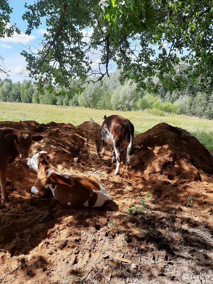 Продаю быка  89611076455 купить 2
