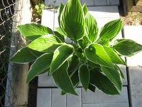 Многолетнее растение. Хоста