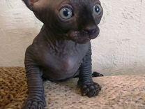 Котята сфинкс, окрас особый графитовый