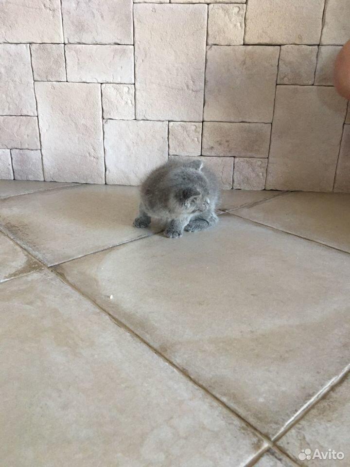 Британские котята в добрые руки бесплатно  89034187889 купить 4