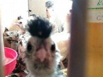 Цыплята породистые от 20.03.,26.04.,19.05.19